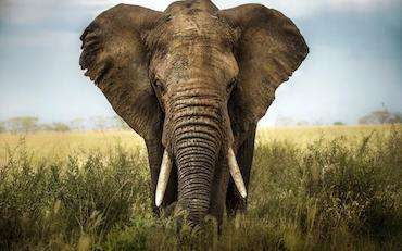 éléphant-du-web-cancer