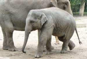 éléphant-asie-web
