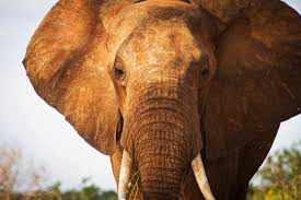 elephant-protege