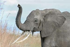éléphant-afrique-web