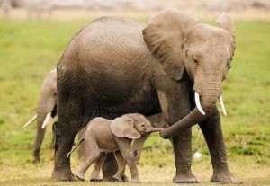éléphant-éléphanteau-web-communauté