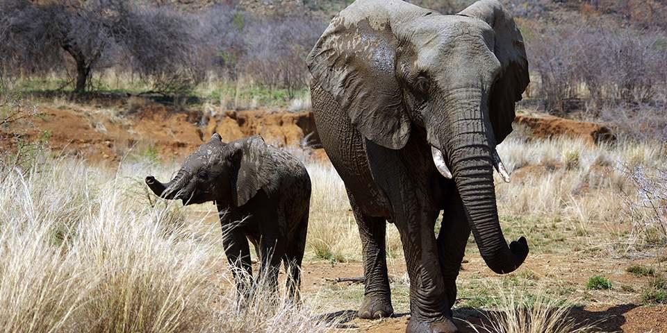 Preservation-elephant-du-web