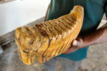 dent-elephant-poids-web